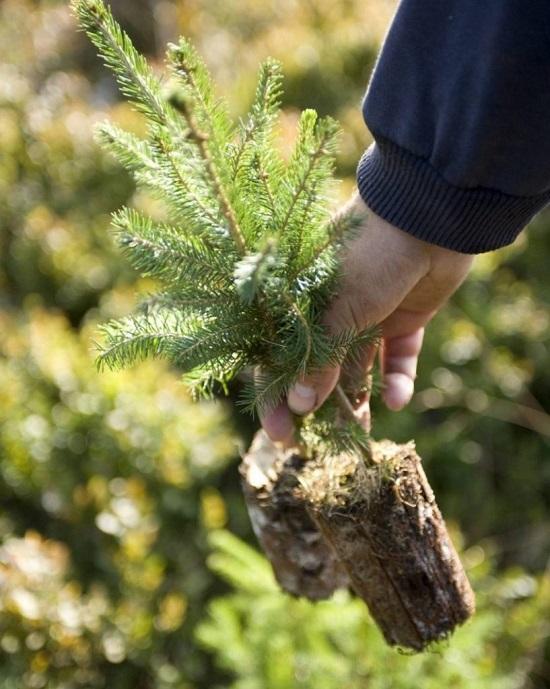 Посадка хвойных деревьев