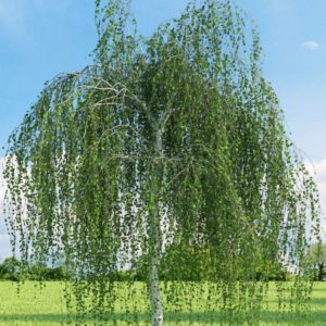 "Береза повислая (Betula pendula) ""Yuongii"""