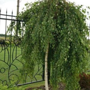 """Береза полезная (Betula utilis) """"Jacquemontii"""""""
