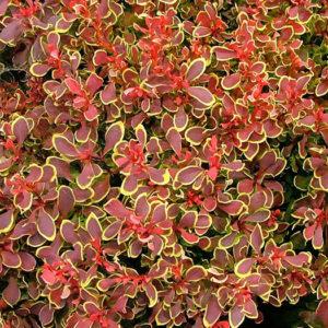"Барбарис Тунберга (Berberis thunbergii) ""Golden Ruby"""