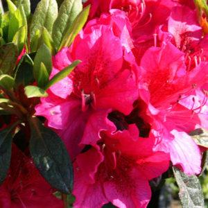 Азалия японская (Azalea japonica) «Georg Arends»