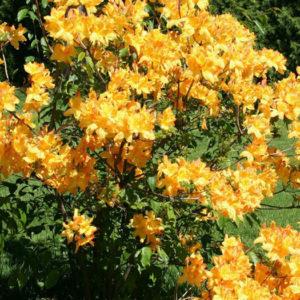 Азалия японская (Azalea japonica) «Golden light»