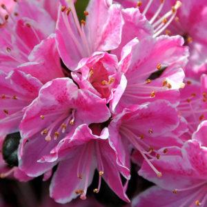 Азалия японская (Azalea japonica) «Kermesina»