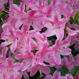 Азалия японская (Azalea japonica) «Kermesina Rose»