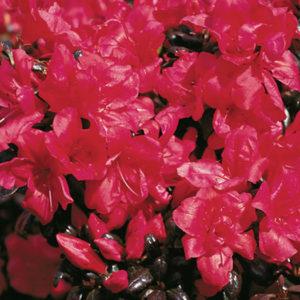 Азалия японская (Azalea japonica) «Maruschka»