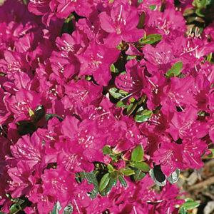 Азалия японская (Azalea japonica) «Purpurkissen»