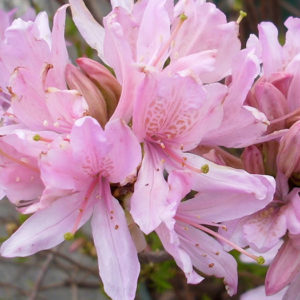 Азалия японская (Azalea japonica) «Western lights»