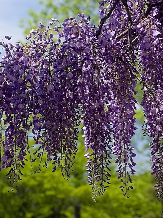 Глициния обильноцветущая (Wisteria floribunda) «Cascade»