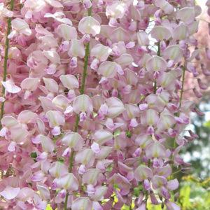 Глициния обильноцветущая (Wisteria floribunda) «Rosea»