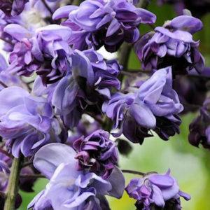 Глициния обильноцветущая (Wisteria floribunda) «Violaceana Plena»