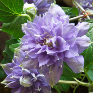 Клематис (Clematis) «Blue Explosion»