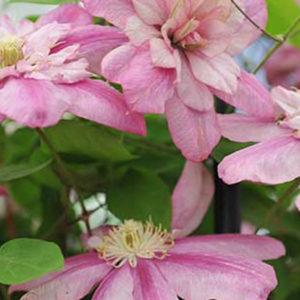 Клематис (Clematis) «Innocent Glance»