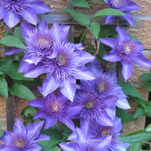Клематис (Clematis) «Multi Blue»