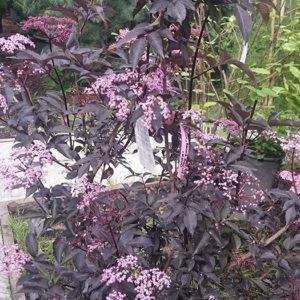 Бузина черная (Sambucus nigra) «Black Beauty»
