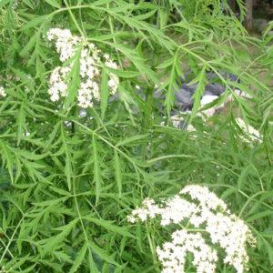 Бузина черная (Sambucus nigra) «Laciniata»