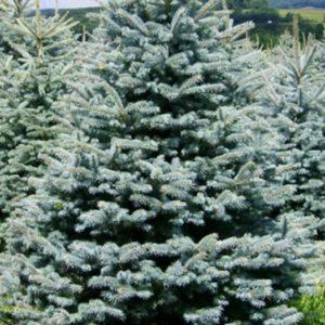 Ель колючая (Picea pungens) «Glauca»