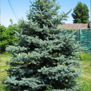 Ель колючая (Picea pungens) «Hoopsii»