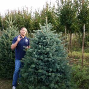 Ель колючая (Picea pungens) «Koster»
