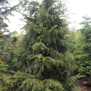 Ель сербская (Picea omorica) «Bruns»
