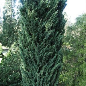 Можжевельник китайский (Juniperus chinensis) «Blaauw»
