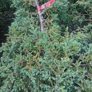 Можжевельник чешуйчатый (Juniperus squamata) «BlueCarpet»