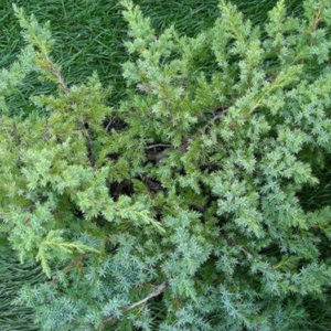 Можжевельник чешуйчатый (Juniperus squamata) «Blue Swede»