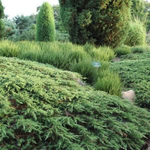 Можжевельник обыкновенный (Juniperus communis) «Green Carpet»