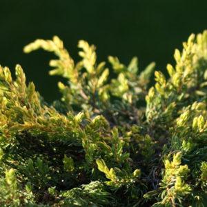Можжевельник обыкновенный (Juniperus communis) «Goldschatz»