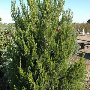 Можжевельник китайский(Juniperus chinensis) «Spartan»