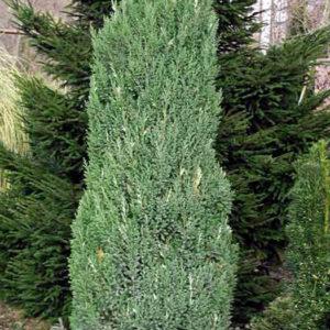 Можжевельник китайский(Juniperus chinensis) «Stricta»
