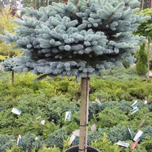 """Ель колючая (Picea pungens) """"Glauca Globosa"""" на штамбе подушковидная"""