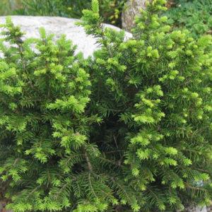 Ель сербская (Picea omorica) «Karel»