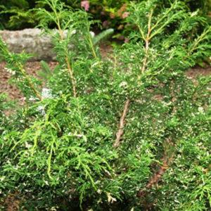 """Можжевельник китайский (Juniperus chinensis) """"Plumosa"""""""