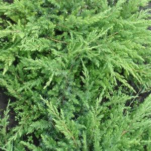 """Можжевельник прибрежный (Juniperus conferta) """"Schlager"""""""
