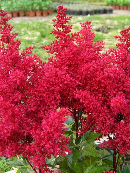 """Астильба японская (Astilbe japonica) """"Red Sentinel"""""""