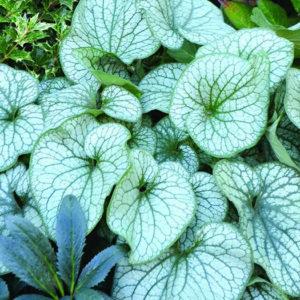 """Бруннера крупнолистная (Brunnera macrophylla) """"Alexander`s Great"""""""