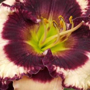 Лилейник (Hemerocallis) «Crystal Pinot»