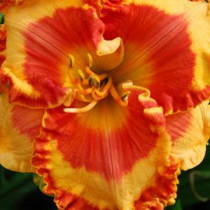 Лилейник (Hemerocallis)«Orange Grove»