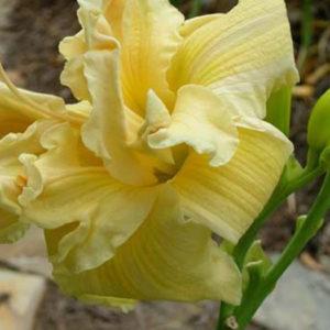 Лилейник (Hemerocallis) «Villa Vanilla»