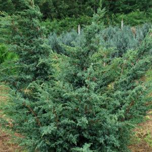 """Можжевельник китайский (Juniperus chinensis) """"Blue Alps"""""""