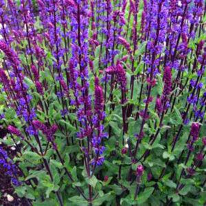 Сальвия дубравная/шалфей (Salvia nemorosa) «Caradonna»