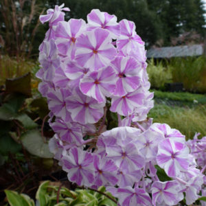 Флокс (Phlox) «All in One»