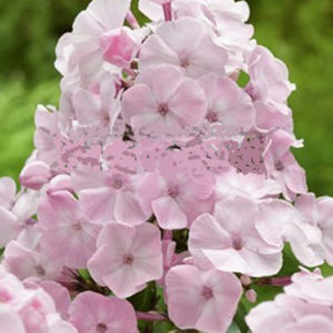 Флокс (Phlox) «Don`s Roze»