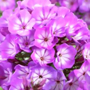 Флокс (Phlox) «Magical Surprise»