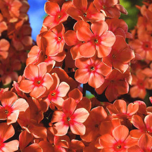 Флокс (Phlox) «Orange Perfection»