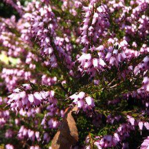 Эрика травяная (Erica carnea) «March Seedling»