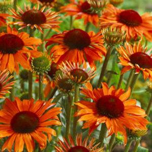 Эхинацея пурпурная (Echinacea purpurea) «Orange Passion»