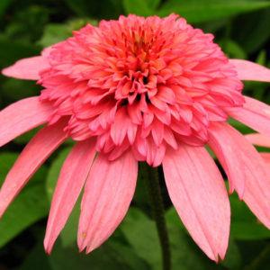 Эхинацея пурпурная (Echinacea purpurea) «Raspberry Truffles»
