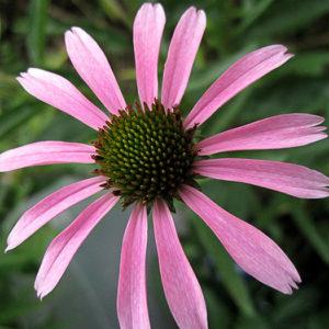 Эхинацея пурпурная (Echinacea purpurea) «Rocky Top»