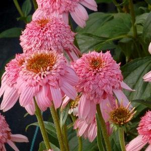 Эхинацея пурпурная (Echinacea purpurea) «Secret Romance»